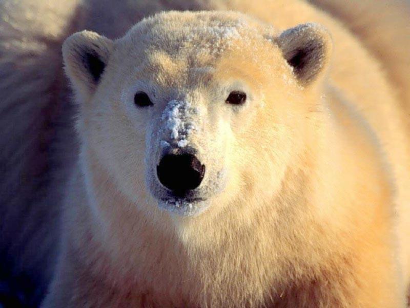 Очень густая, плотная шерсть защищает тело медведя от холода и намокания в...