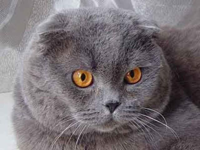 "На Cats - форуме в теме  ""Шотландские вислоухие и прямоухие "" меня..."
