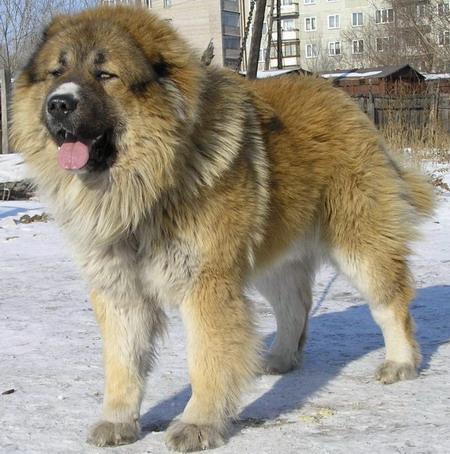 ...потеряшка- щенок кавказской овчарки. на вид 7-10 мес. вроде не злой...