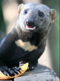 тайра животное фото